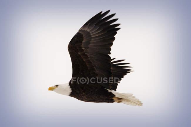 Weißkopf-Seeadler auf der Flucht vor blauem Hintergrund — Stockfoto