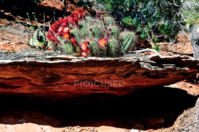 Cacto crescer em arenito, Sedona, no Condado de Yavapai, Arizona, EUA — Fotografia de Stock