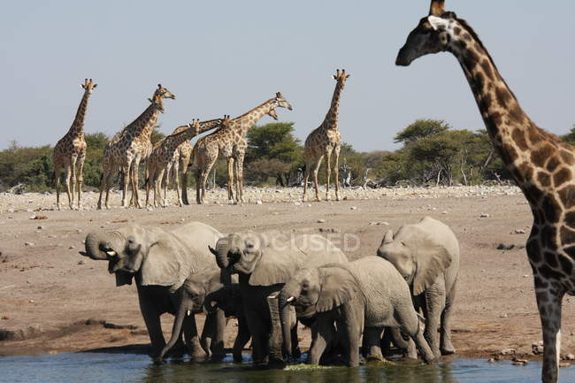 Elephants and giraffes drinking at watering hole, Namibia — Stock Photo