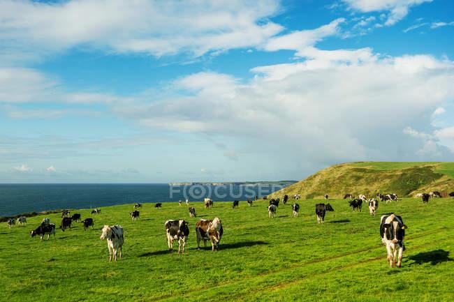 Malerische Aussicht von Kühen in einem Feld, Manorbier, Wales, Uk — Stockfoto