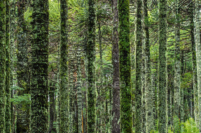 Scenic view of green forest with trees covered in moss — Stock Photo