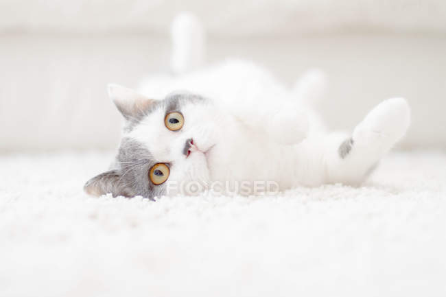 Playful cute fluffy cat lying on the carpet — Stock Photo