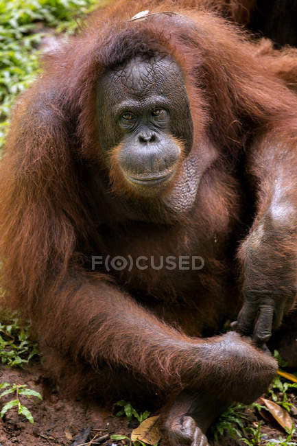 Nahaufnahme Porträt eines großen braunen Orang-Utans auf grünem Gras — Stockfoto