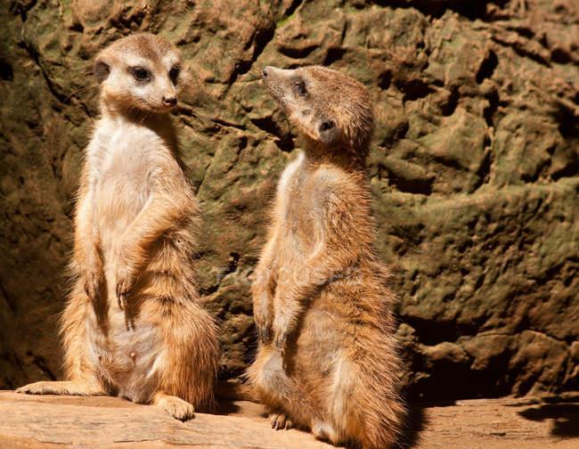 Ritratto ravvicinato di simpatici suricati africani — Foto stock