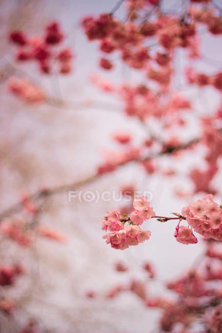 Nahaufnahme des Frühlings rosa Blüte auf Baum — Stockfoto