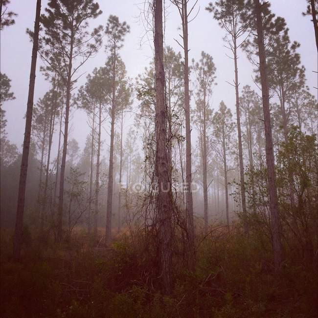 Vue panoramique sur la forêt majestueuse dans la brume — Photo de stock