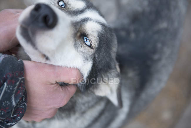 Close up view of human hand patting beautiful huskey dog — Stock Photo
