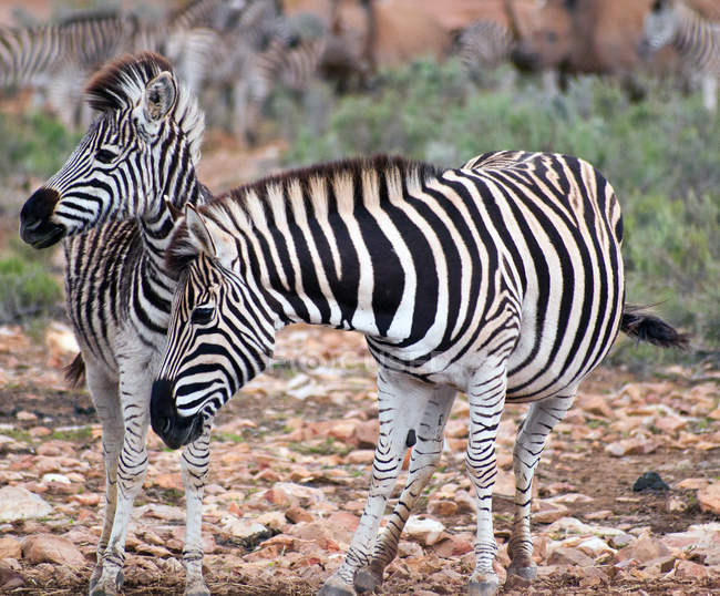 Manada de cebras hermosa en pasto, Eastern Cape, South Africa - foto de stock