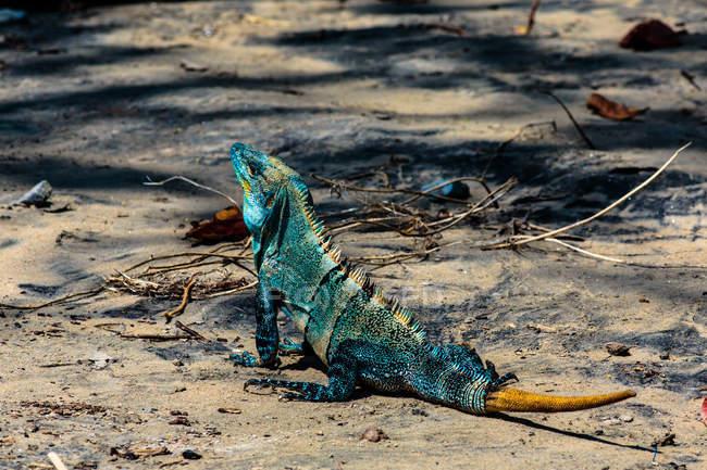 Iguana mirando hacia arriba en la playa, Playa Hermosa, Costa Rica - foto de stock