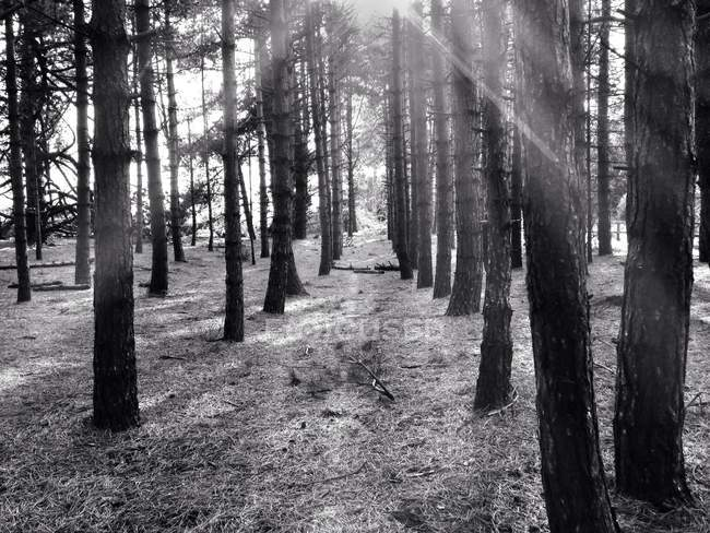 Immagine monocromatica della luce solare che scorre attraverso gli alberi nella foresta — Foto stock