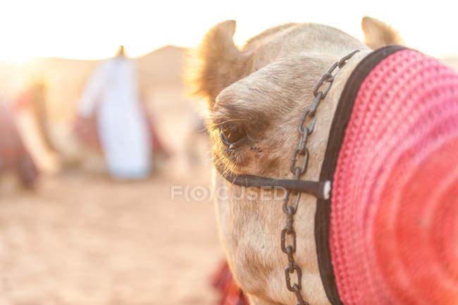 Vista de primer plano de amordazada Camello arábigo en Abu Dhabi del desierto al atardecer. Centrarse en el ojo de un camello, Abu Dhabi, Emiratos Árabes Unidos - foto de stock