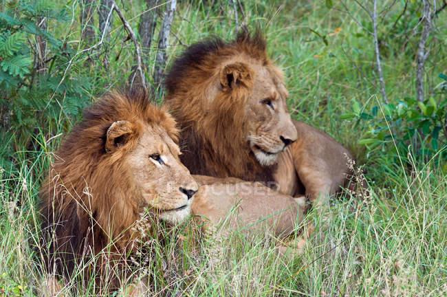 Zwei niedliche Löwen liegen zusammen im grünen Gras — Stockfoto