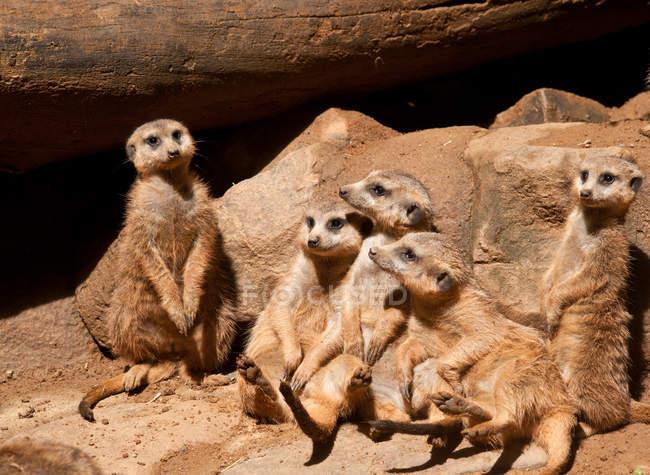 Lustige süße Bande von Erdmännchen auf Felsen sitzend — Stockfoto