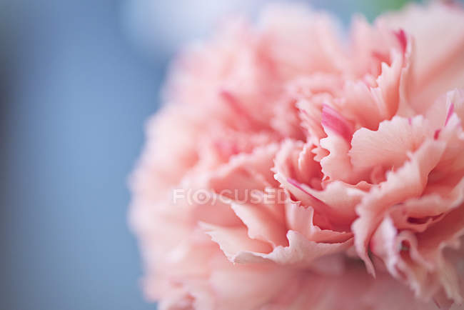 Крупный план цветущего розового гвоздичного цветка — стоковое фото