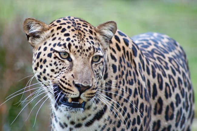 Портрет красивой диких леопарда в Южной Африке, Мпумаланга — стоковое фото