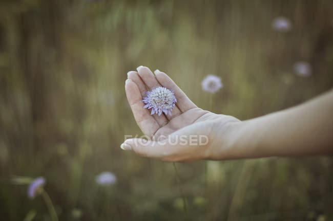 Обрезанное изображение женщины, держащей цветок в руке на размытом фоне — стоковое фото