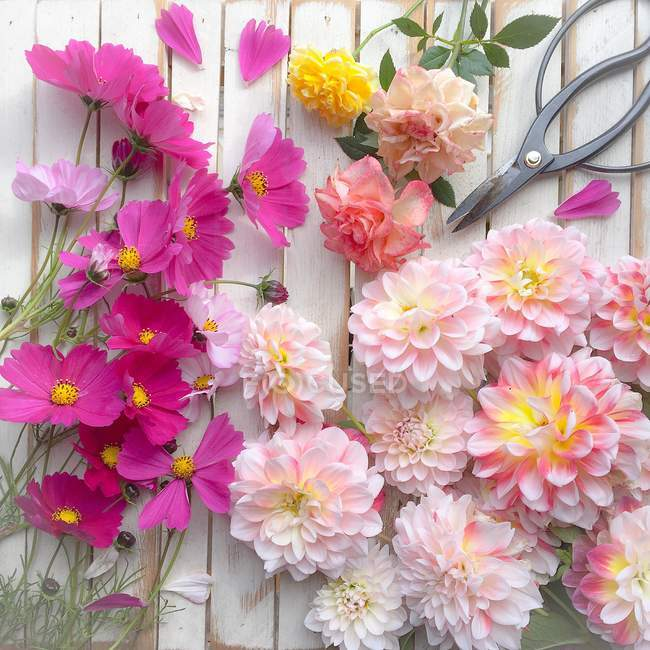 Colorful fresh cut Flowers and scissors on white wood — Stockfoto