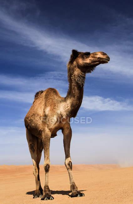 Niedrigen Winkel Blick auf majestätische Oman Kamel in der Wüste — Stockfoto