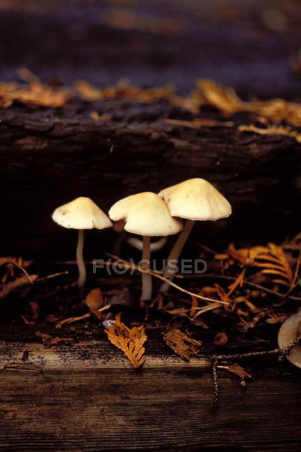 Close-up view of three white mushrooms — Stockfoto