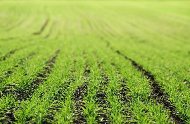 Selective focus, rows of green crops — Stockfoto