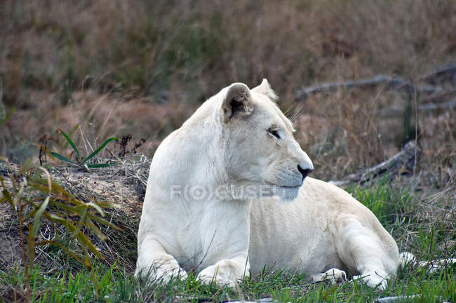 Majestic White Lion lying on green grass in wilderness — Stock Photo