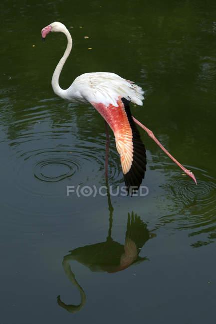 Flamingo Estiramiento en una pierna en agua - foto de stock