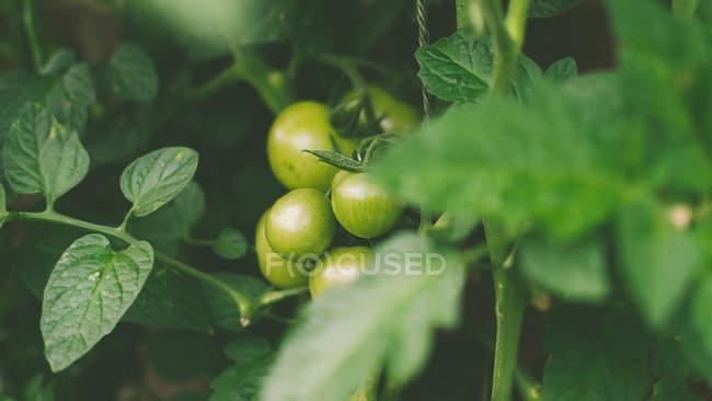 Зеленые помидоры, растущие в саду, крупным планом, размытый фон — стоковое фото