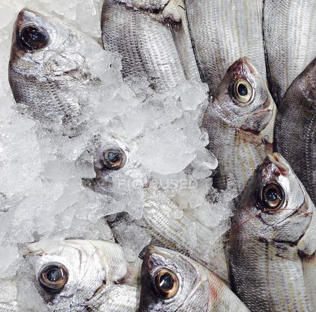 Dorada Fish in Ice At A Market In Spain — Stock Photo