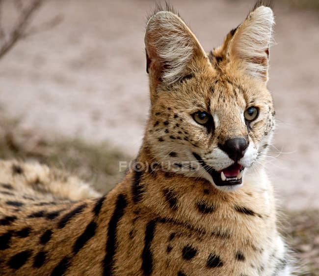 Vue rapprochée du beau chat sauvage africain, l'Afrique du Sud, Mpumalanga — Photo de stock