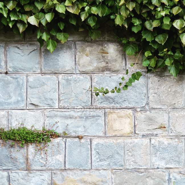 Closeup image of Ivy growing on wall — Stockfoto