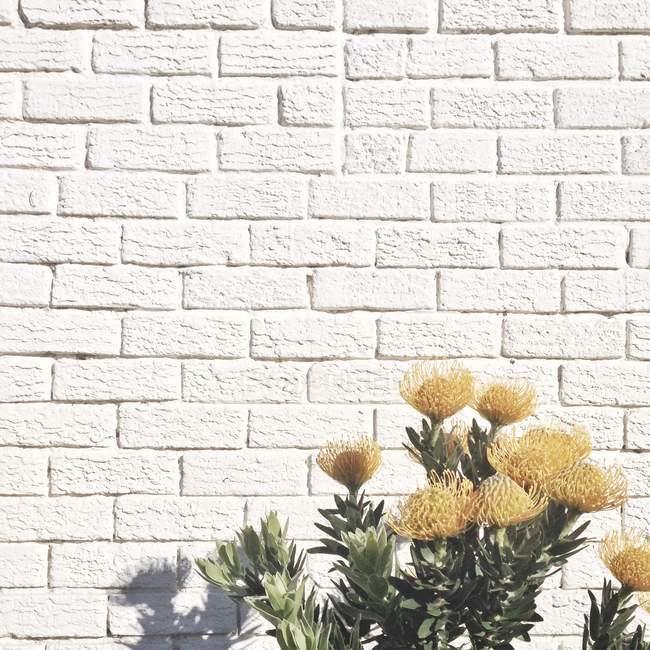 Gelben Blüten gegen weiße Mauer — Stockfoto