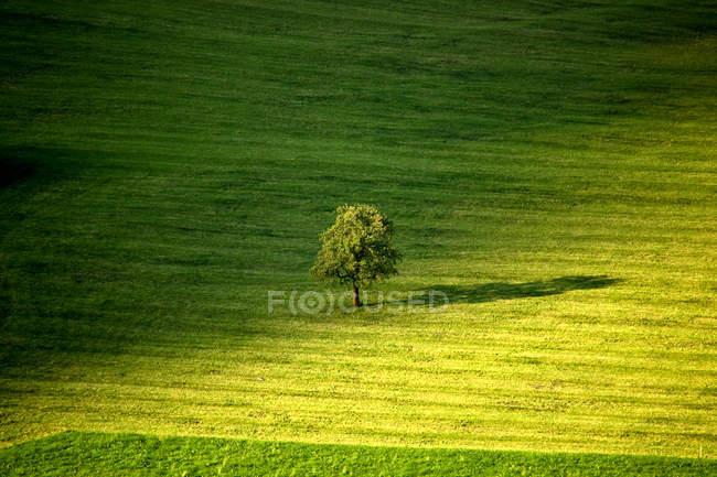Живописный вид единого дерева в зеленом поле, Обвальден, Швейцария — стоковое фото