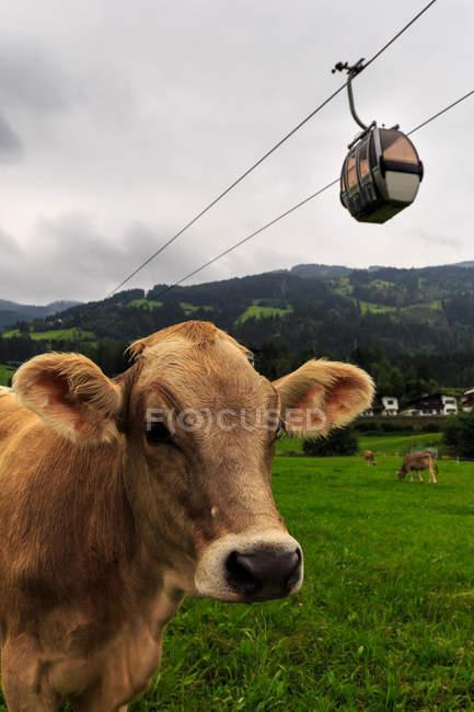 Vacas en un campo con teleférico encima, Tirol, Austria - foto de stock