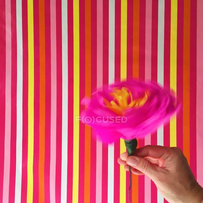 Human hand swirling a pink flower on colorful stripped background — Stock Photo
