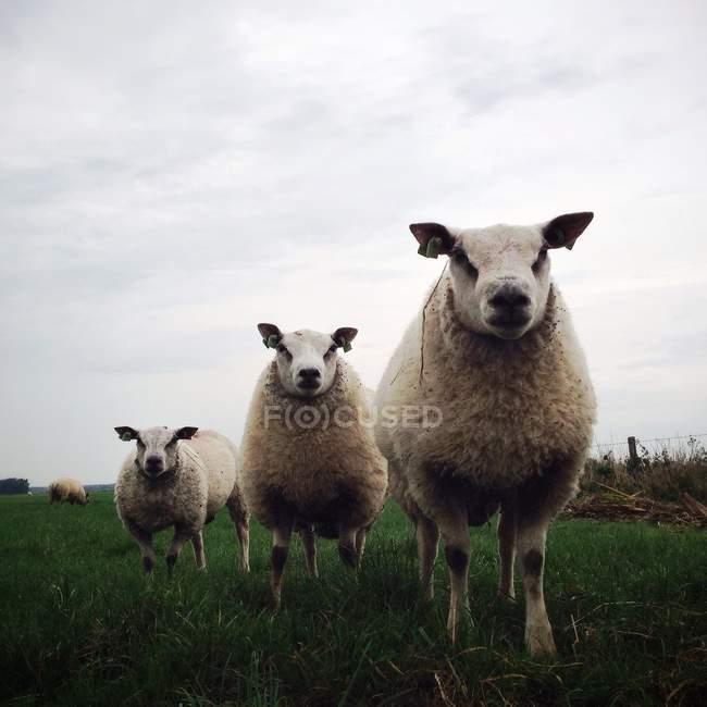Moutons debout sur l'herbe dans les pâturages et regardant la caméra — Photo de stock
