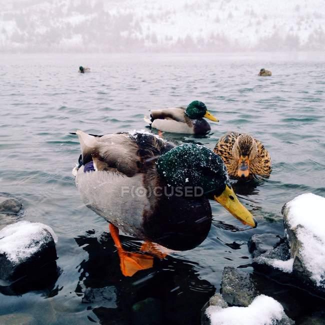 Vista de cerca de hermosos patos domésticos en invierno, EE.UU., Oregon - foto de stock