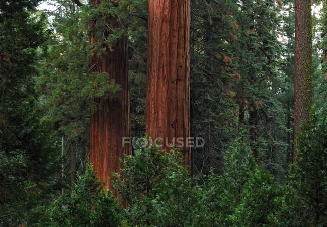 Мальовничий вид на ліс в Національний парк Секвойя, Юм, Каліфорнія, США — стокове фото