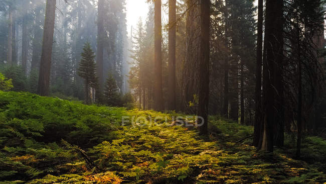 Vista panorâmica da floresta no Parque Nacional Sequoia, Hume, Califórnia, EUA — Fotografia de Stock