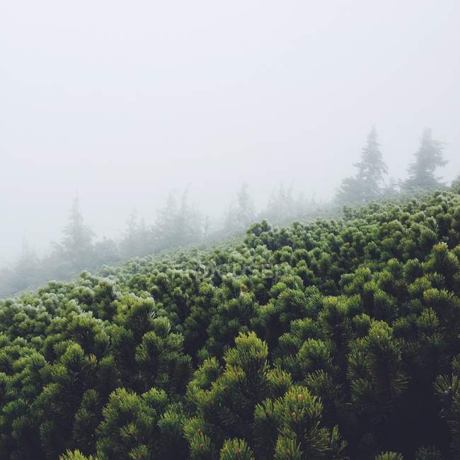 Beautiful green pine trees in fog — Stock Photo