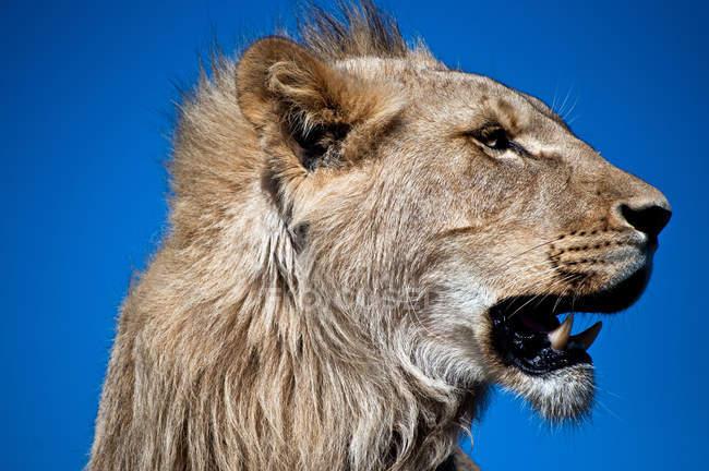 Porträt von wilden Löwen Schnauze vor blauem Hintergrund — Stockfoto
