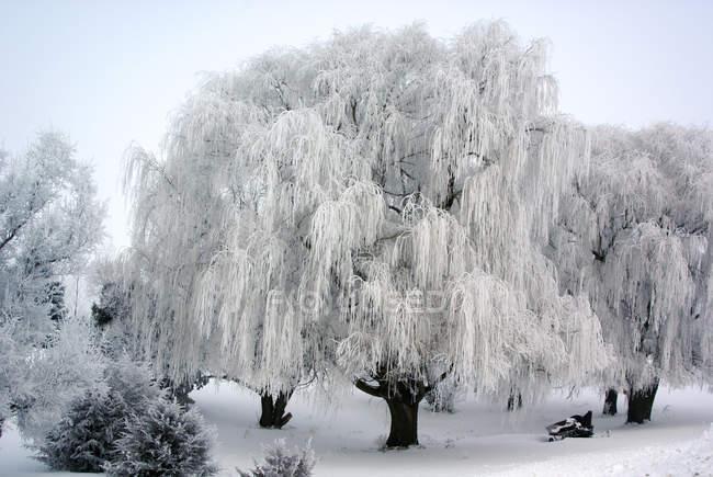 Живописный вид на замороженную иву в снегу — стоковое фото