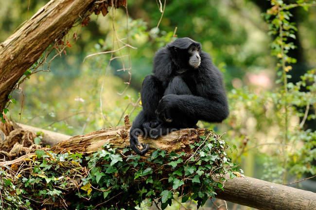 Schwarzer Siamang-Gibbon sitzt auf Baumstamm und schaut weg — Stockfoto