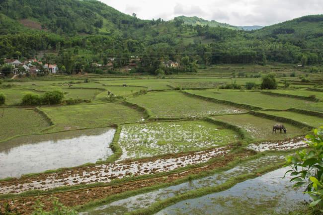 Scenic view of rice fields, Vietnam — Stock Photo