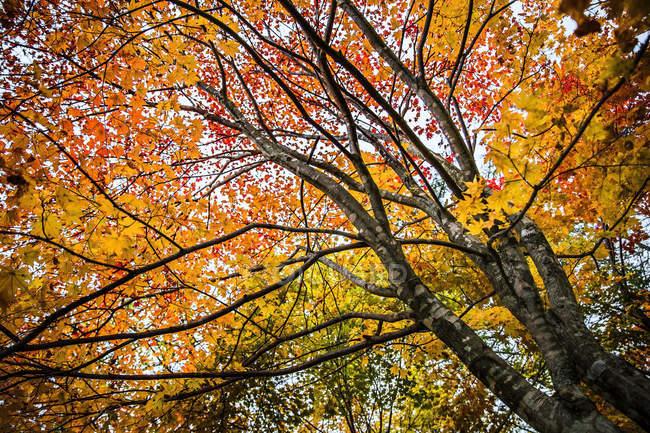 Живописный вид низким углом Осеннее дерево, Хоккайдо, Япония — стоковое фото