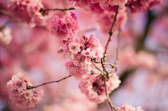 Close-up of Beautiful tree Pink Blossom — Stock Photo