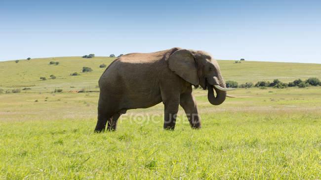 Malerische Aussicht von afrikanischen Elefanten, Kirkwood, Eastern Cape, Südafrika — Stockfoto