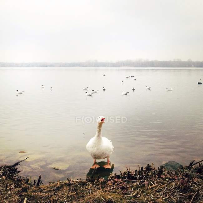 Retrato de pato blanco con pico abierto de pie cerca del lago en la mañana brumosa - foto de stock