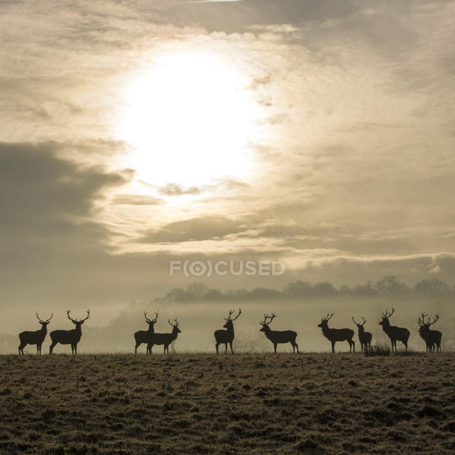 Deer silhouettes standing against foggy forest with shining sun — Stock Photo