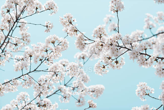Мальовничим видом Cherry Blossom та Синє небо — стокове фото