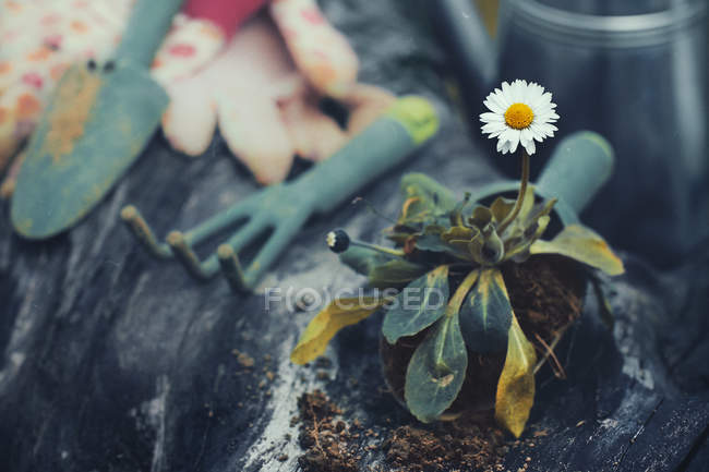 Gardening equipment and a daisy, closeup view — Stockfoto